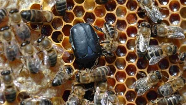 Escarabajo de las colmenas.Artículo de la EFSA