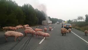 Plan de contingencia en un transporte de animales vivos